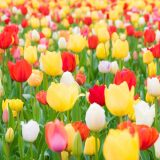 close-up-of-tulips-blooming-in-field-royalty-free-image-1584131616